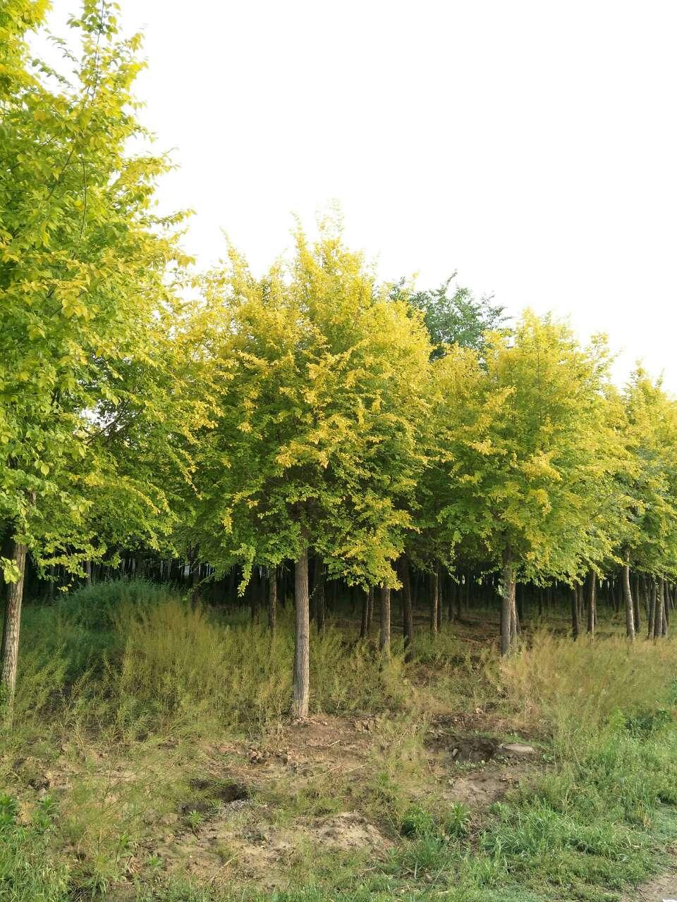 供应国槐、白蜡、金枝槐、五角枫、金叶槐