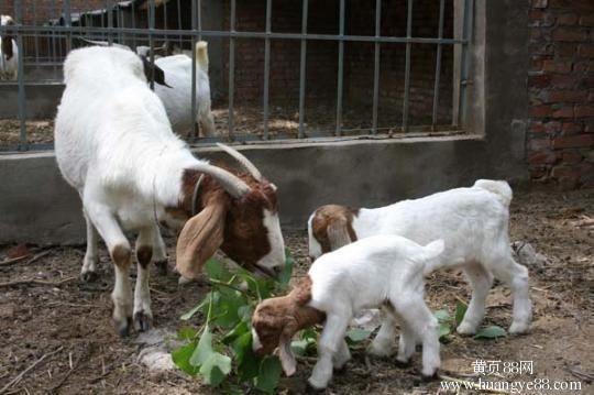 現貨銷售羊各種波爾山羊  肉羊 羊羔 山東波爾山羊養殖基地波爾山羊歡迎選購好品質波爾山羊 白山羊