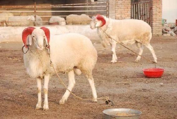厂家直销肉羊现货小尾寒羊 低价供应小尾寒羊优质品种肉羊 好品质小尾寒羊 羊 纯种肉羊 肉羊价格,肉羊批发 小尾寒羊价格