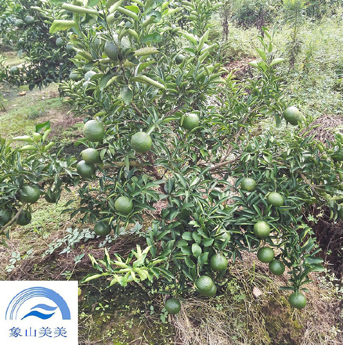 象山青桔子树,柑橘观光园适合品种,果实甘甜清口 桔子树