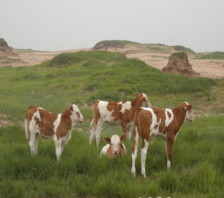 肉牛犢肉牛養殖批發改良肉牛犢 較實惠肉牛犢價格廠家直銷肉牛大型肉牛養殖場牛好品質肉牛示例圖1
