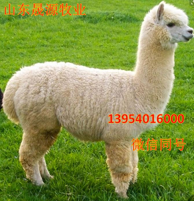 羊驼特种养殖 出售羊驼活体 大羊驼报价 神兽