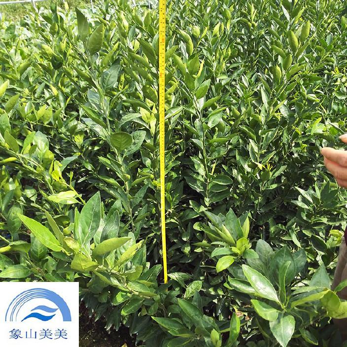 柑桔苗大分1号,特早熟蜜桔,耐干旱,抗冻性强