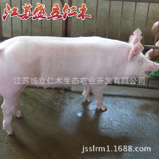 克母猪大约克种猪新美系优质大约克猪大视频射真丝白种图片