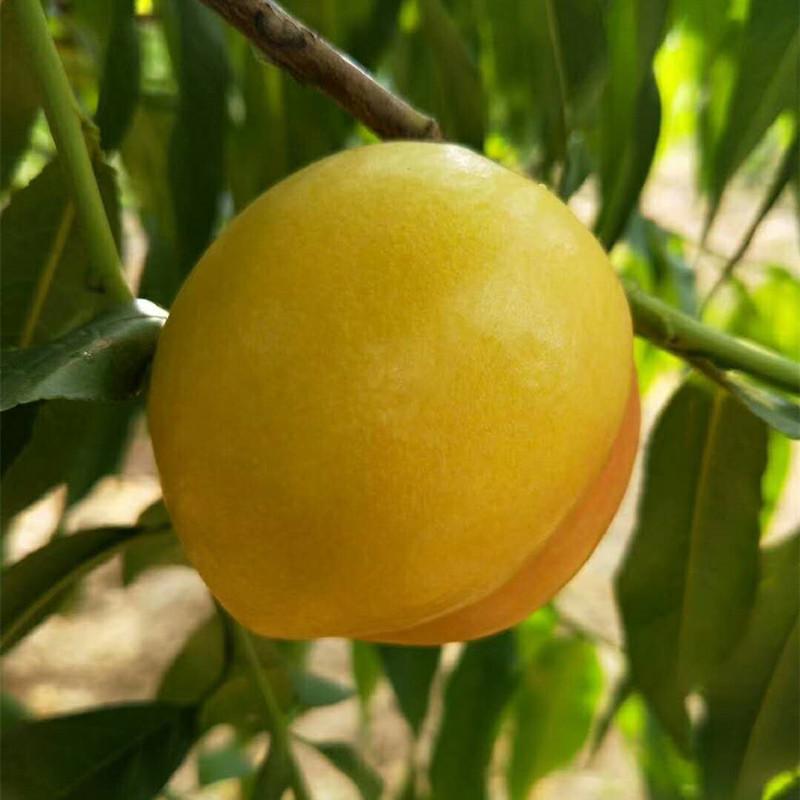 博郡农业基地出售1年生黄桃苗,黄金蜜4号、锦绣黄桃、新世纪黄桃苗,根系发达,苗子粗壮示例图1