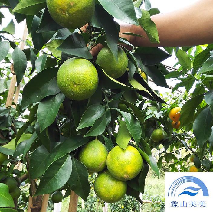 象山红美人柑橘苗,早熟杂柑,树势略强,枝梢粗壮 柑橘苗