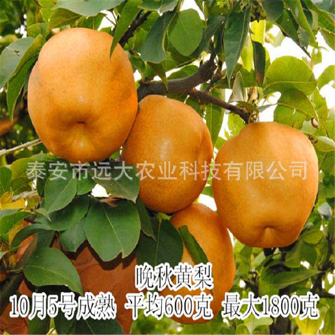 遠大農業基地大量供應優質梨樹苗  梨樹苗價格優惠 歡迎選購