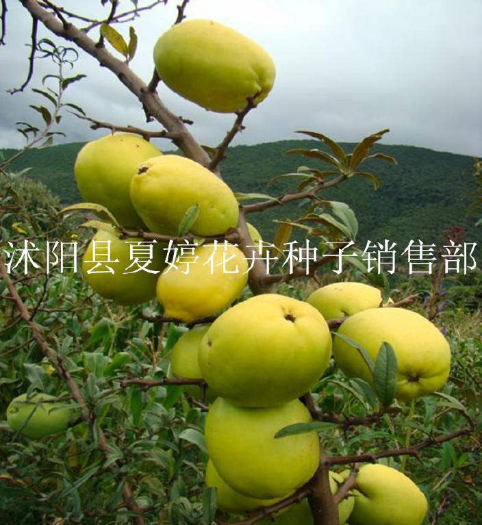 批发花木种子 新采木瓜种子 供应光皮木瓜树种子 园林绿化 到付