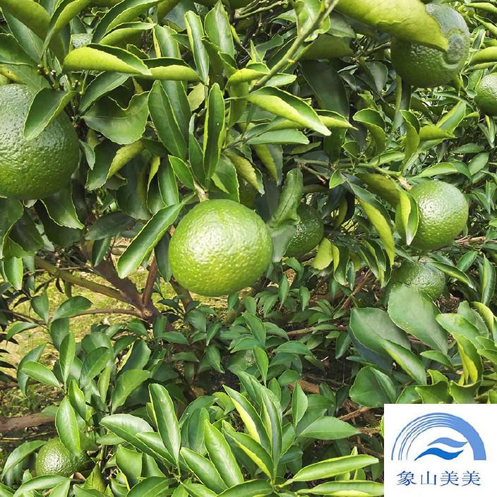 春香桔柚柑橘樹,果樹勢較旺,抗凍性好,冬季耐低溫