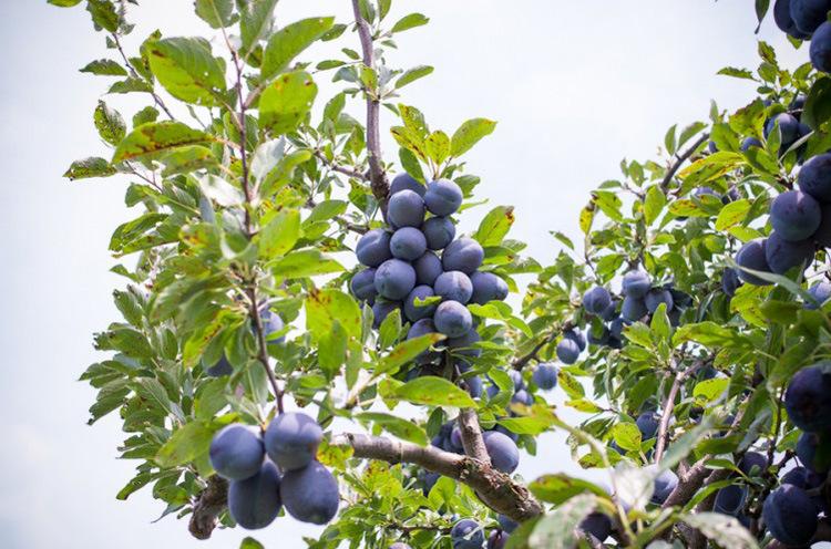 果树苗李子树苗 红布林 南方北方种植嫁接苗新品种盆栽地栽示例图4