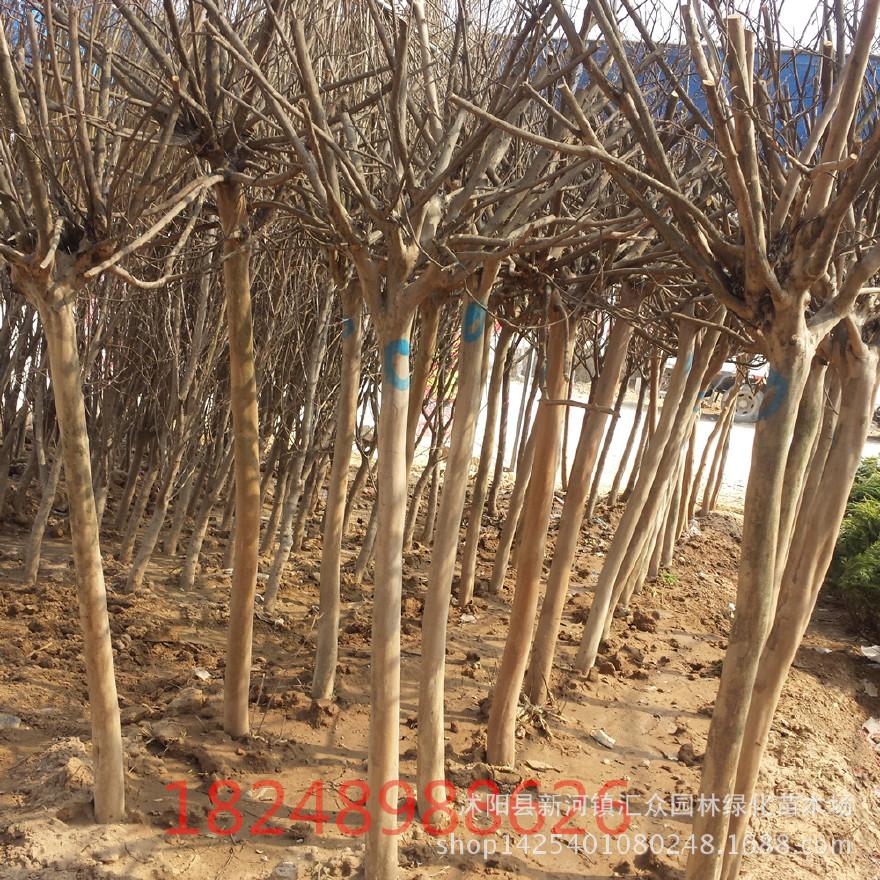 农户直销紫薇小苗 1-10公分紫薇树 百日红 直销各种绿化工程用苗