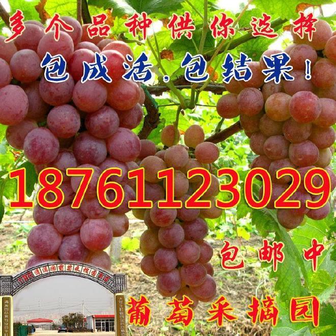 现货供应果树种苗 夏黑葡萄苗 美国红提夏黑葡萄苗 高成活率种苗图片