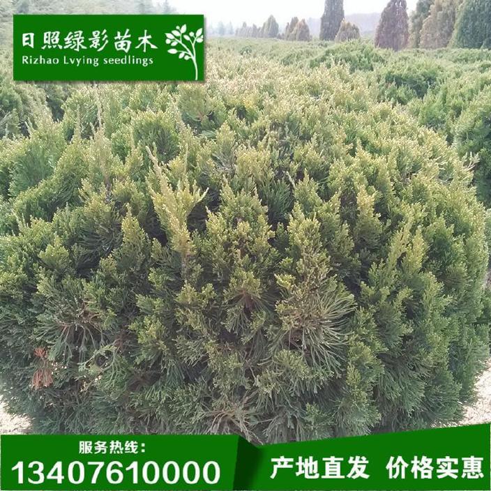 工程专用龙柏球 1米冠幅龙柏球专供 山东日照园林绿化苗木质量优