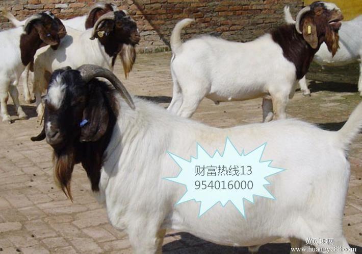 現貨銷售羊各種波爾山羊羊羔 山東波爾山羊養殖基地波爾山羊歡迎選購好品質波爾山羊 肉羊 白山羊 綿羊