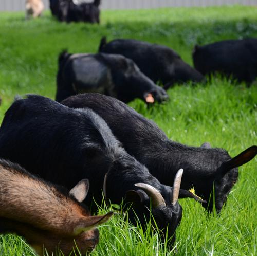 正宗纯种黑山羊 价格实惠羊 纯种黑山羊养殖基地 欢迎选购黑山羊 好品质肉羊 纯种肉羊 黑山羊价格  黑山羊  白山羊