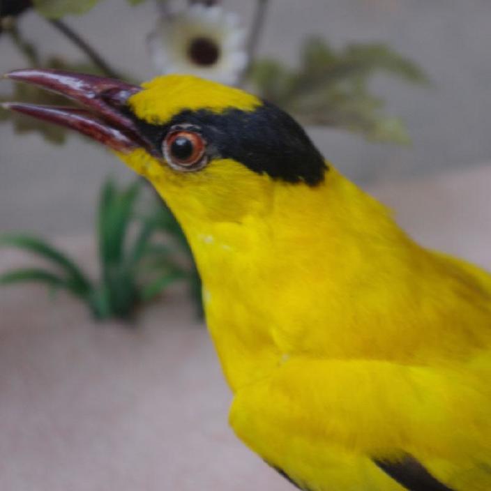 真摆件仿真动物v摆件黄丽小鸟黄鹂鸟标本皮毛工led生产技术图片