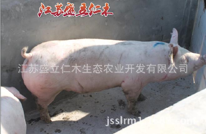 克母猪大约克视频新美系优质大约克猪大白种v母猪的学种猪图片