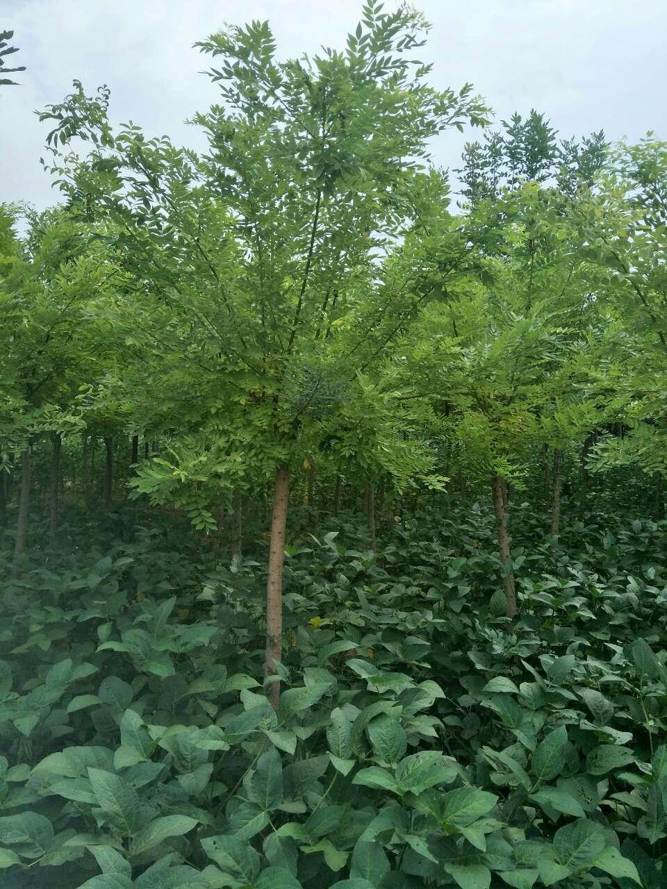 保珍源绿植园林绿化苗木国槐 、白蜡、五角枫、法桐、黄金槐、金叶榆、金叶槐