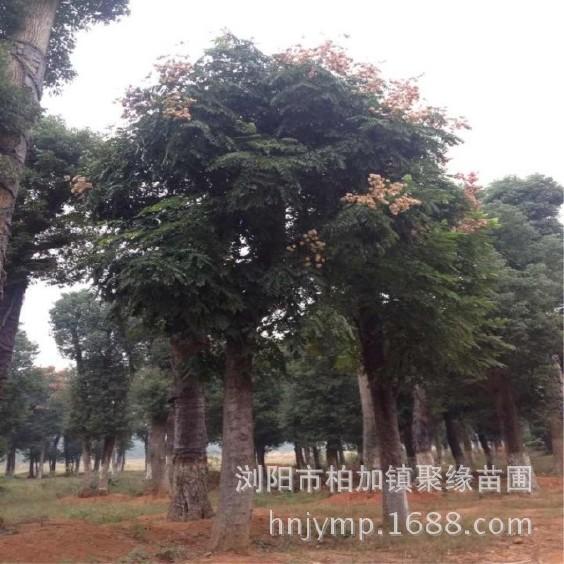 直销 大 栾树移植苗木10-50公分价格实惠欢迎前来考察苗木.