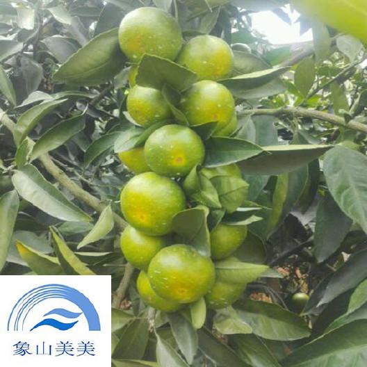 特早熟蜜桔苗日南1號,無核溫州蜜柑,果實采收和出售時間長