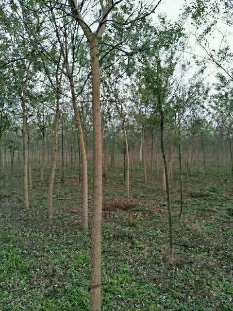 保珍源绿植园林绿化苗木国槐 白蜡 园林植物供应绿化苗木