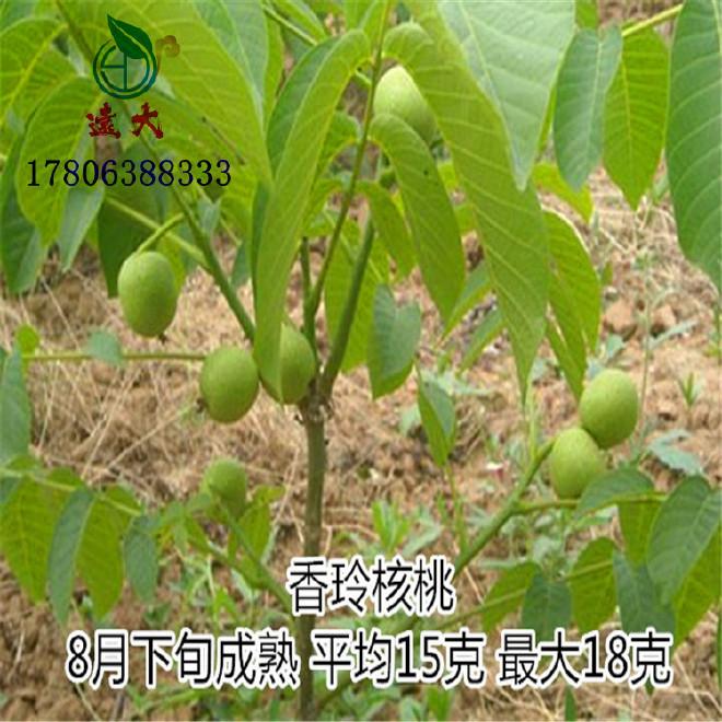 大量批发优质薄皮核桃树  8518核桃树 品种纯正 核桃树批发