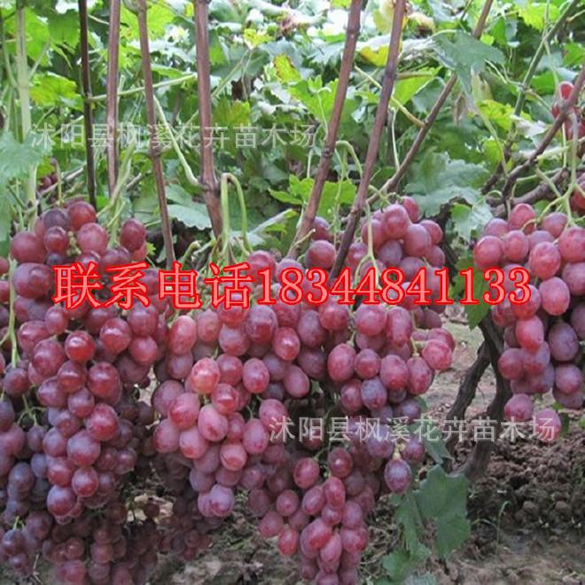 批发果树苗 黑提红提 夏黑葡萄苗 地栽植物树木 穗大粒大 糖度高图片