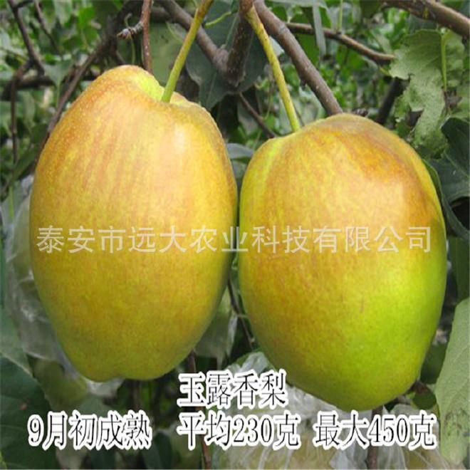 秋月梨苗基地大量銷售 1年樹苗 果實飽滿 適合南北方種植