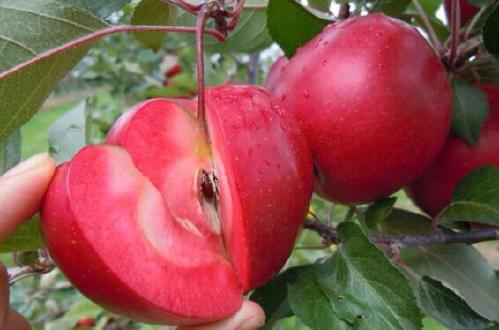优质红肉苹果苗 矮化苹果苗品种纯正 苹果苗价格优惠