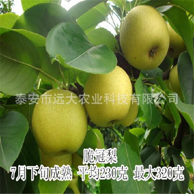 直銷優質梨樹苗  秋月梨苗價格優惠 成活率高 2年結果 梨樹苗價格