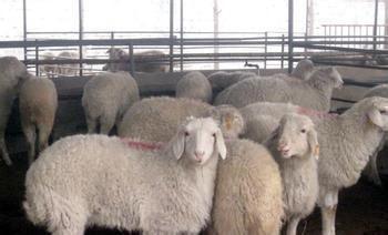 低价供应小尾寒羊优质品种肉羊 好品质小尾寒羊 羊 纯种肉羊 肉羊价格, 小尾寒羊价格 小尾寒羊 绵羊 黑山羊 白山羊