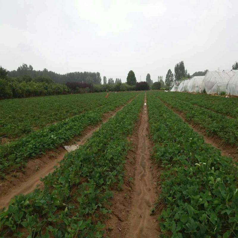 双建农业供应?#24405;?#29275;奶草莓苗 红颜巧克力草莓苗 根系发达 易成活 现挖现卖 大量供应中