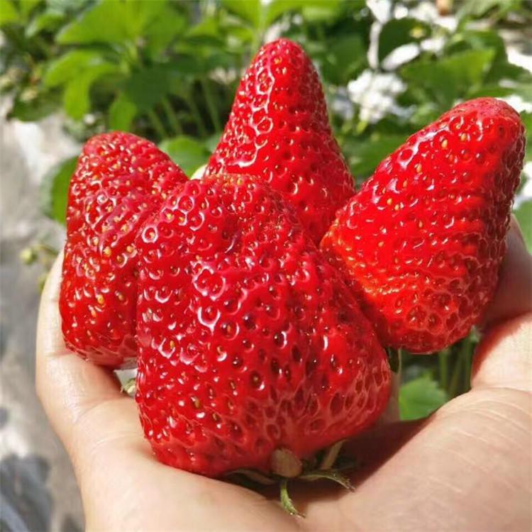 新品种草莓苗价格 大棚草莓苗 圣诞红草莓苗 巧克力草莓苗 妙香草莓苗基地 草莓苗育苗基地