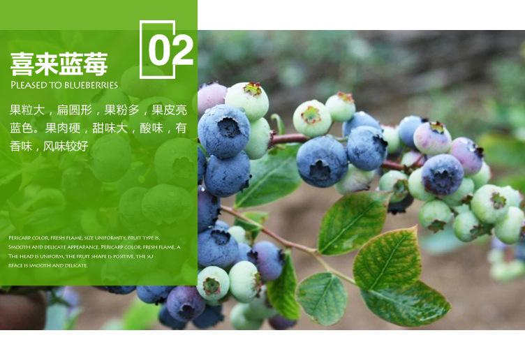 藍豐藍莓苗 博郡農業基地批發適合南方種植3年藍莓樹苗 奧尼爾藍莓 薄霧藍莓苗 提供技術示例圖5