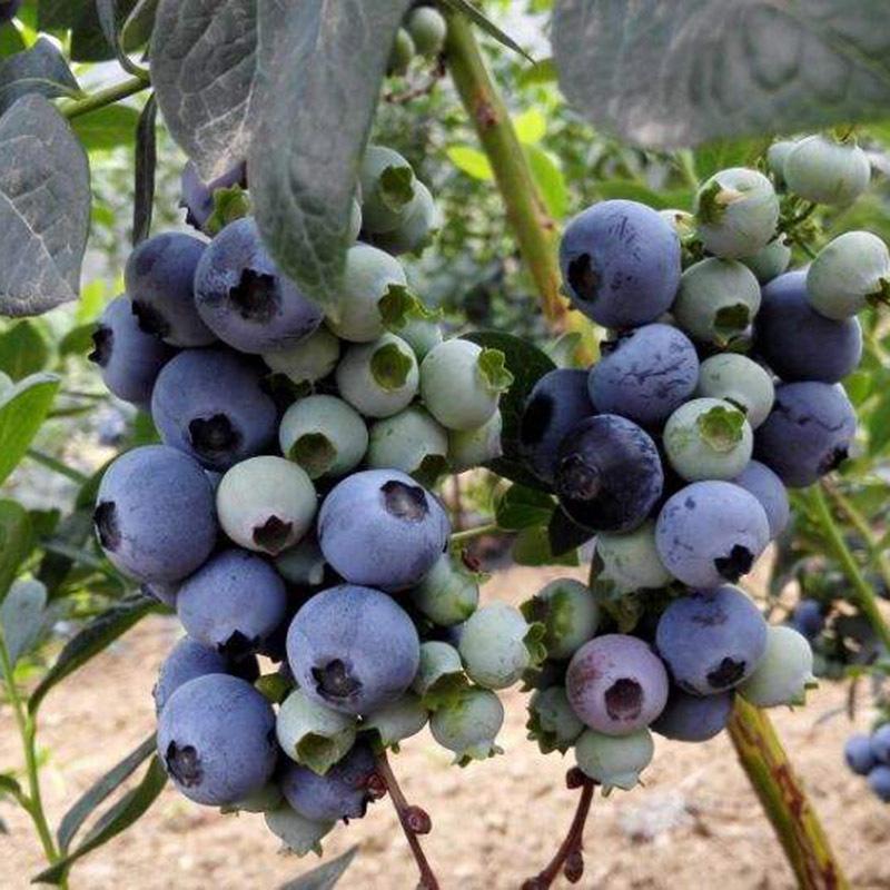 藍豐藍莓苗 博郡農業基地批發適合南方種植3年藍莓樹苗 奧尼爾藍莓 薄霧藍莓苗 提供技術示例圖10