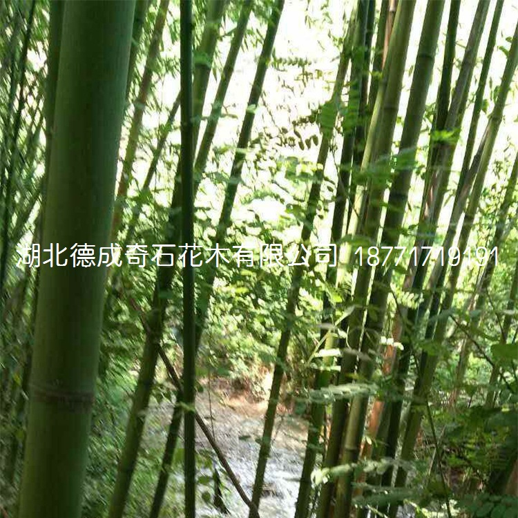 竹子园林绿化用竹子窝竹毛竹篮竹竹子批发竹子价格刚竹青竹示例图5