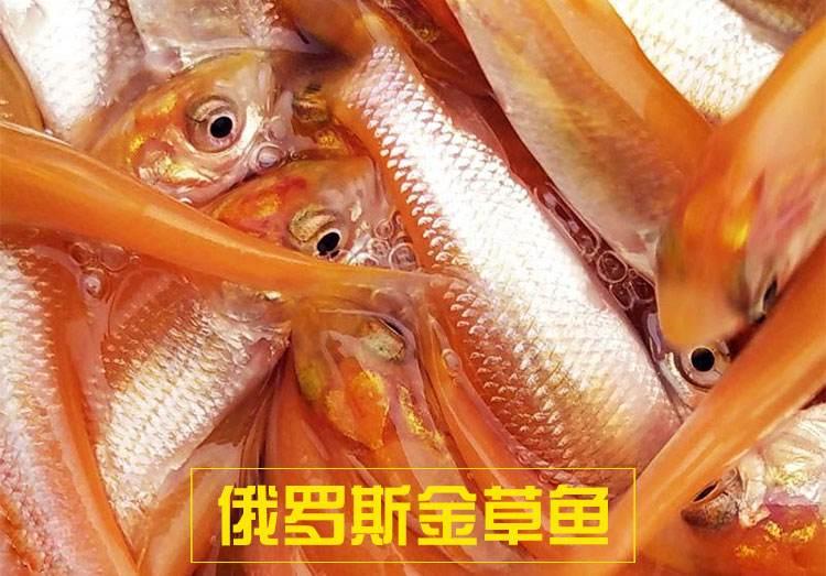 金草鱼苗,鲩鱼苗 草鱼 鱼苗 鲈鱼苗 草鱼苗示例图7