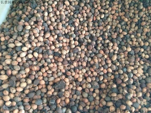 欧李种子图片