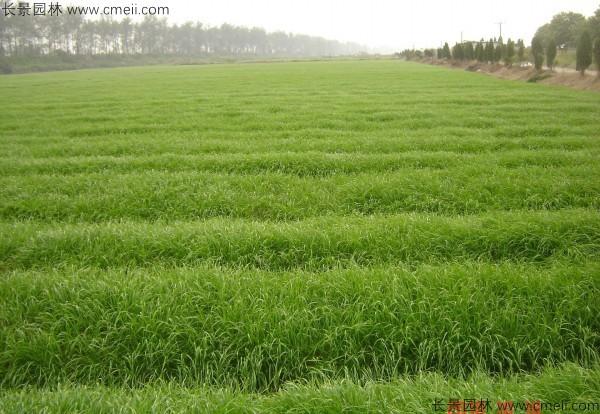 燕麦种子发芽出苗图片
