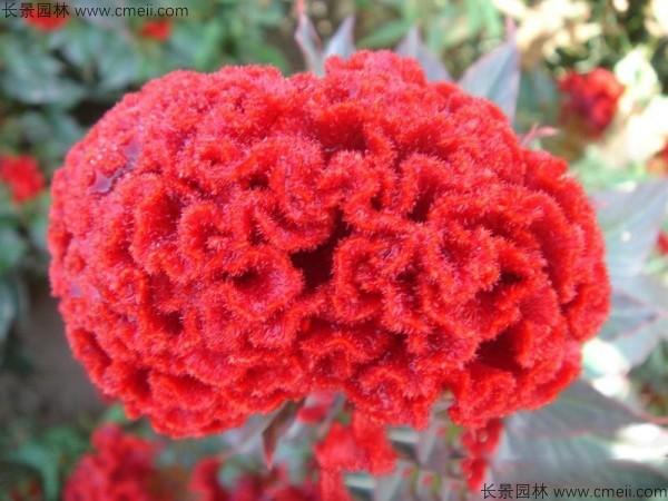 红色冠状矮生鸡冠花图片