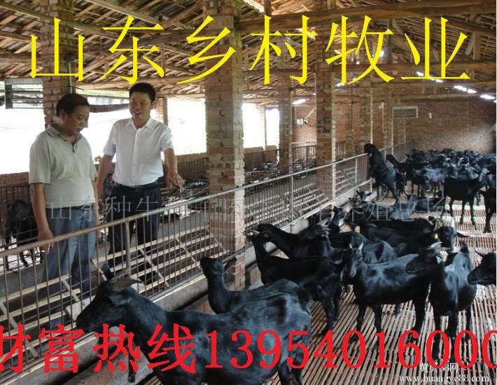 正宗纯种黑山羊 价格实惠羊 纯种黑山羊养殖基地 欢迎选购好品质黑山羊 好品质肉羊 纯种肉羊示例图1