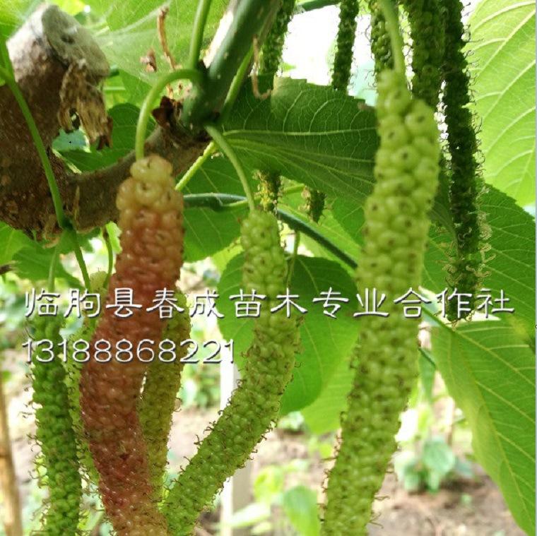 供应桂花蜜桑葚苗 优质高产桑葚苗示例图12