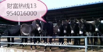 山东肉驴 专业养殖肉驴,好品质肉驴专业养殖肉驴厂家 肉驴厂家直销,肉驴量大优惠 肉驴驹价格