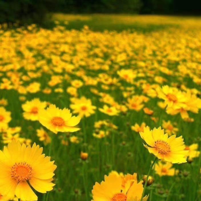 金雞菊種子 多年生花卉種子批發 道路綠化花卉 博倫花卉種子品種齊全 免費開票