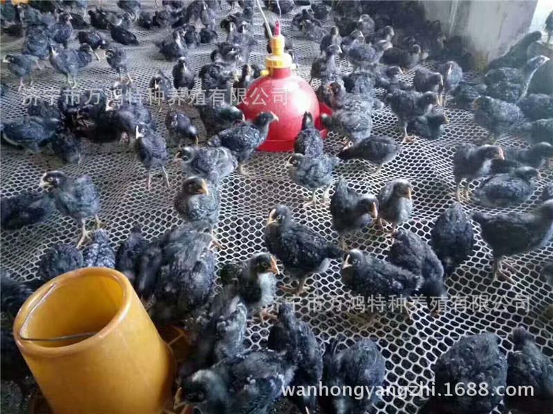 【贵妃鸡出售】贵妃鸡出售价格_贵妃鸡出售批发_贵妃鸡示例图10