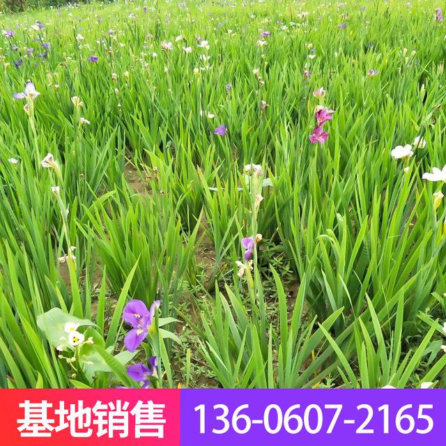 廠家直銷大花水生鳶尾 濕地公園植物鳶尾 濕地水生植物