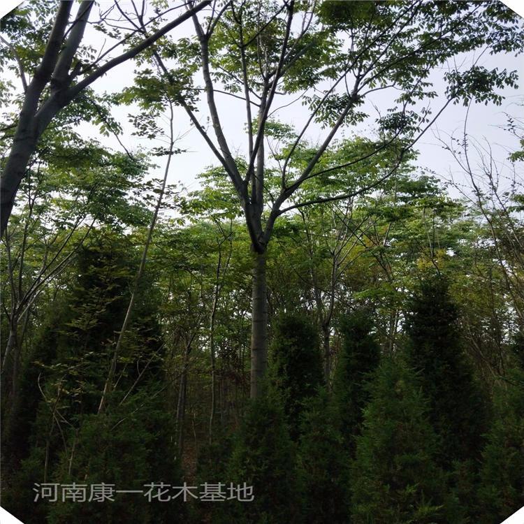 kangyi 供應13公分黃山欒樹 15公分黃山欒樹 基地直銷價格出售