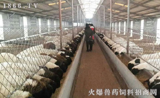 厂家直销肉羊现货小尾寒羊 低价供应小尾寒羊优质品种肉羊 好品质小尾寒羊 羊 纯种肉羊示例图2