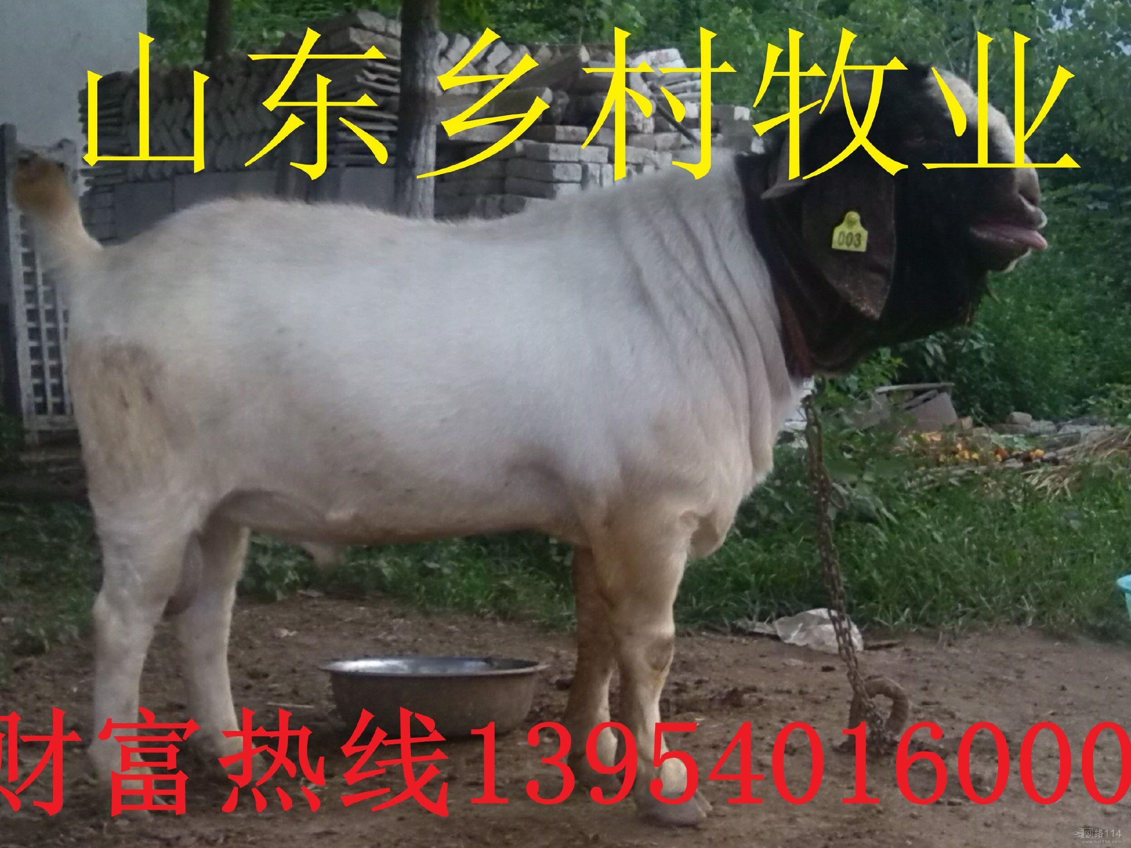 现货销售羊各种波尔山羊羊羔 山东波尔山羊养殖基地波尔山羊欢迎选购好品质波尔山羊示例图2