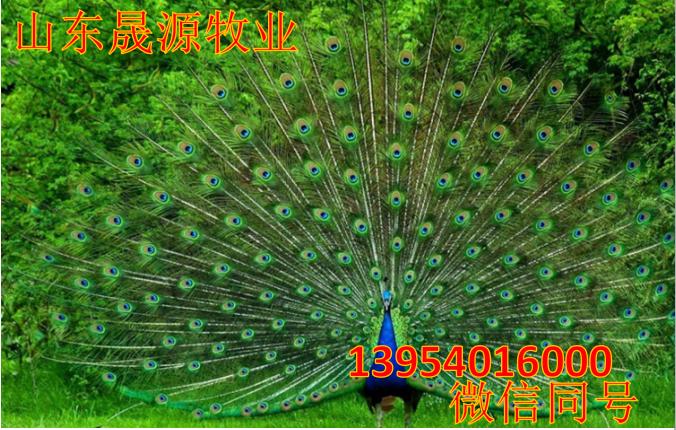 高存活率孔雀苗 特种养殖孔雀活体 孔雀苗批发包邮示例图8